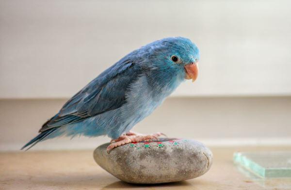 blue_bird_600
