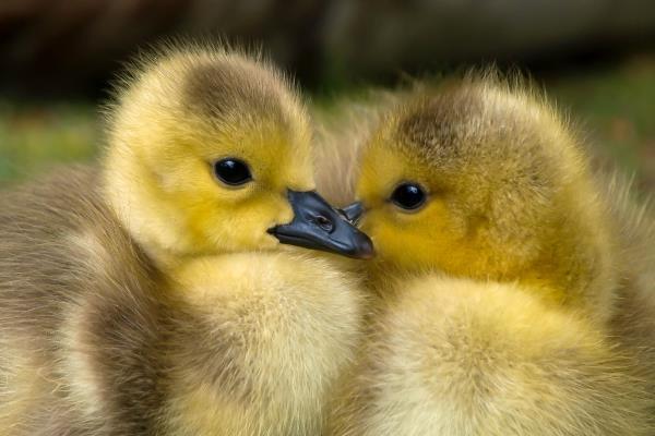 ducks_600