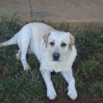 Ref 787 :kusa reg Labrador yellow pups R2000